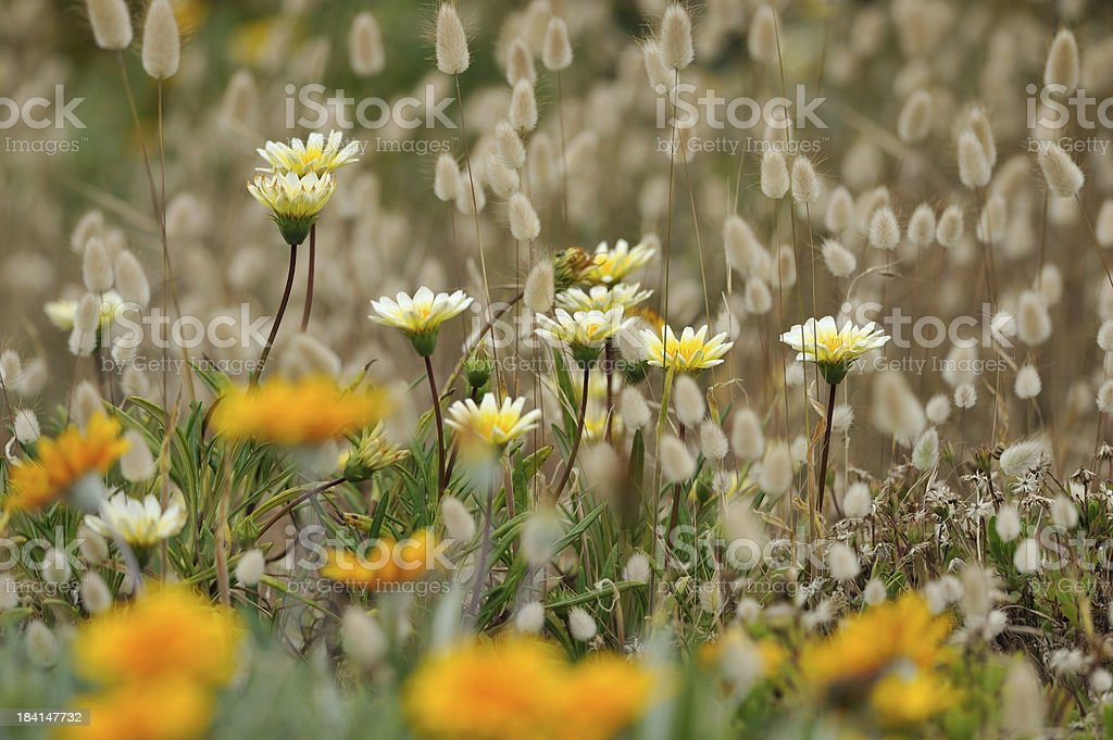 Wildflowers at Cradle Mountain-Lake St Clair National Park royalty-free stock photo