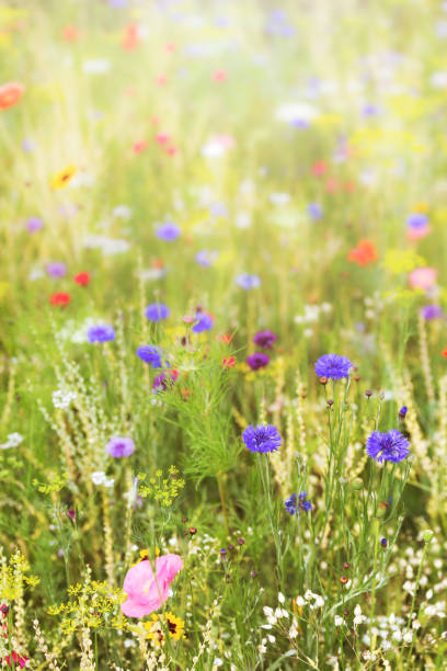 Wildflowers at the summer season native and natural flowers and herbs picture id1126705754?b=1&k=6&m=1126705754&s=612x612&w=0&h=vb1t1yync7jyboz5t7uvofzow3qtygg2gpvo05llqai=
