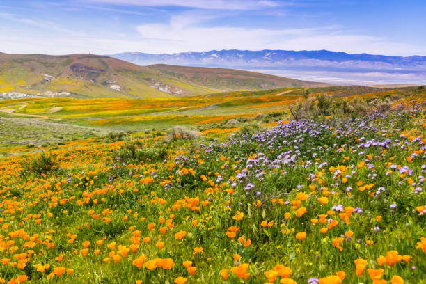 Wildflowers blooming on the hills in springtime, California Wildflowers blooming on the hills in springtime, California wildflower stock pictures, royalty-free photos & images