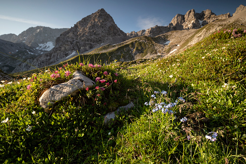 wildflowers blossoming in summer mountains, Austria