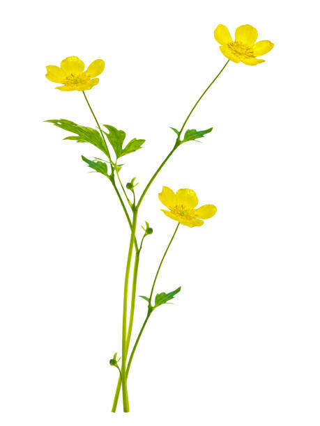 wildflowers buttercup isolated on white background. Yellow wildflowers buttercup isolated on white background. wildflower stock pictures, royalty-free photos & images