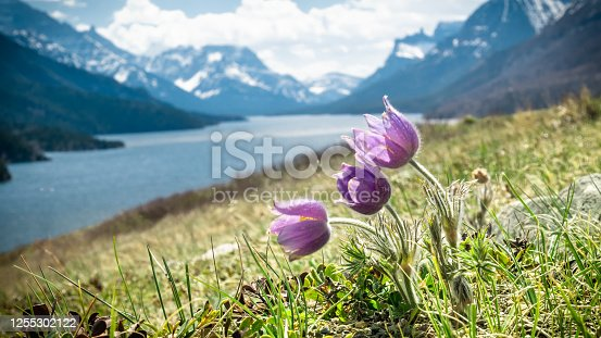 istock Wildflowers (harebells) closeup with lake and mountains in backdrop 1255302122