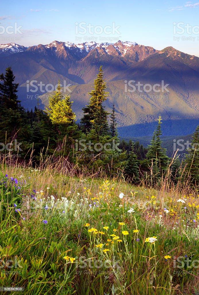 Wildblumen auf Hügel Olympic Mountains Hurricane Ridge – Foto
