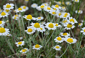 Wildflowers. Daisies. Spring flowers. Drops of dew on the grass. Chamomile.
