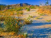 Yellow flowers,  Desert Primrose,  Anza Borrego Desert State Park, spring wildflowers, spring flowers, abundant flowers, white primrose, rippled sand