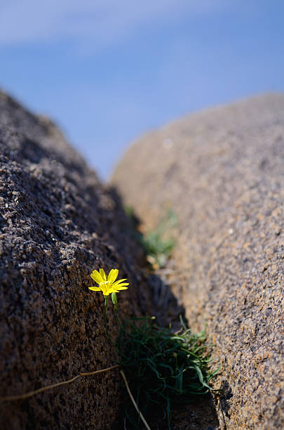 Wildflowers in a rock crevice stock photo