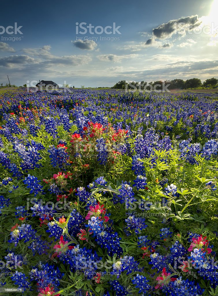 Wildflowers in Late Afternoon Sun royalty-free stock photo