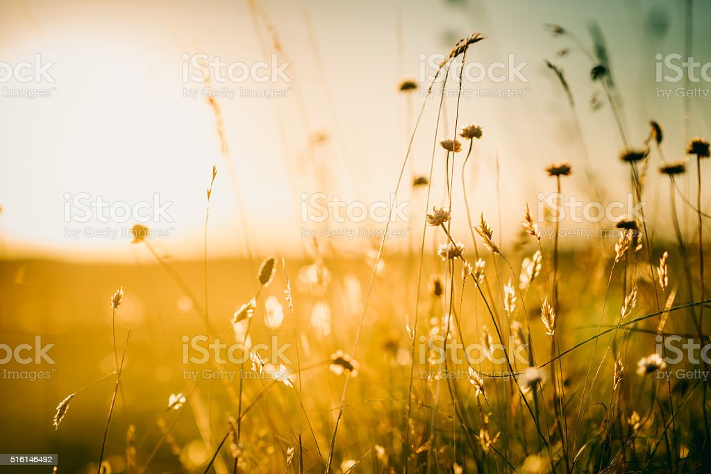 Wildflowers in meadow during sunrise stock photo