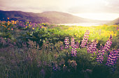 Purple lupine and golden balsamroot wildflowers in the low morning sunshine of a Columbia Gorge Sunrise. High resolution color photograph taken on the Oregon side of the Columbia River, looking toward Washington state, across the Columbia River. No people in image. Horizontal composition.