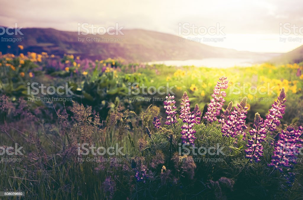 Wildflowers In Morning Sunrise stock photo