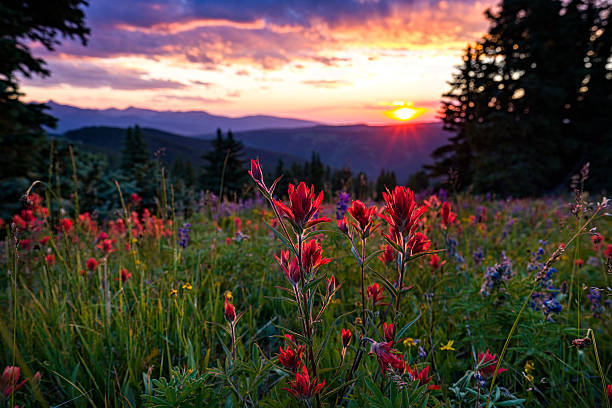 Wildflowers in Mountain Meadow at Sunset Wildflowers in Mountain Meadow at Sunset - Scenic landscape in high mountain meadow with mountain vista at sunset with warm light. Colorado, USA. vail colorado stock pictures, royalty-free photos & images