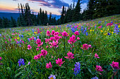 Wildflowers in Mountain Meadow at Sunset - Scenic landscape in high mountain meadow with mountain vista at sunset with warm light. Colorado, USA.