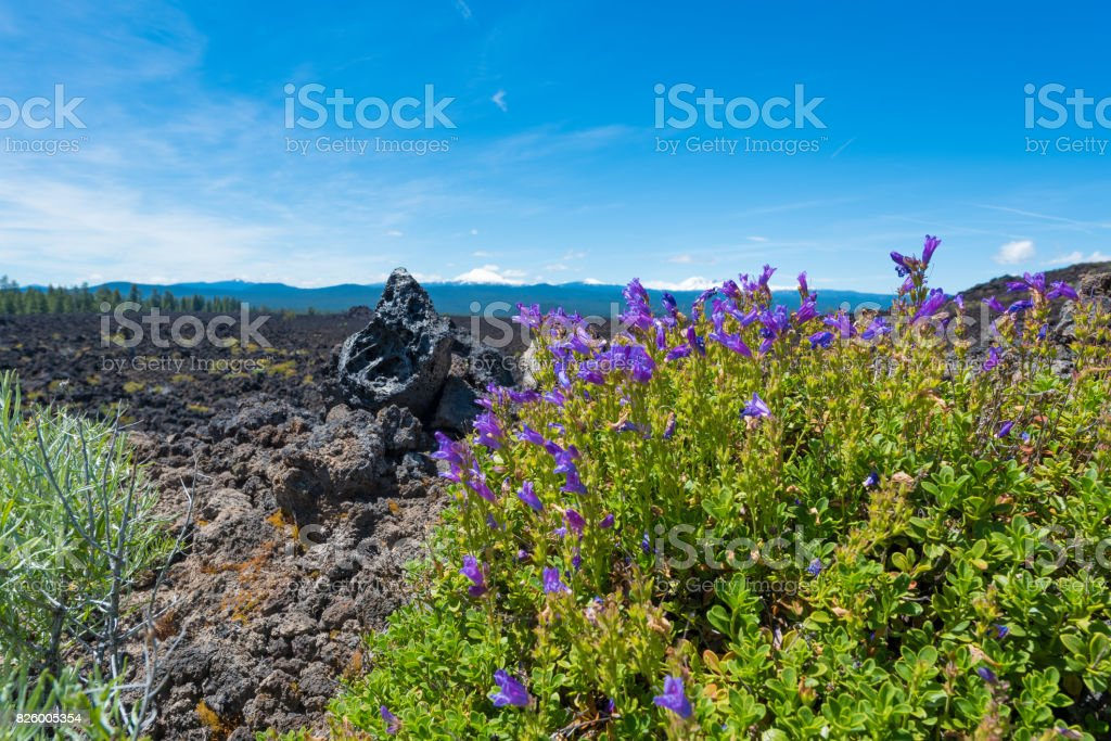 Wildflowers in Newberry National Volcanic Monument stock photo