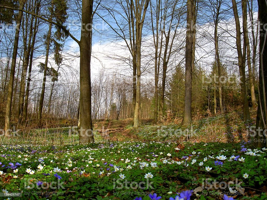 wildflowers in spring forest stock photo