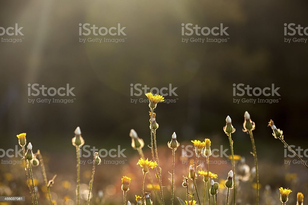 wildflowers in the field with sunlight stock photo