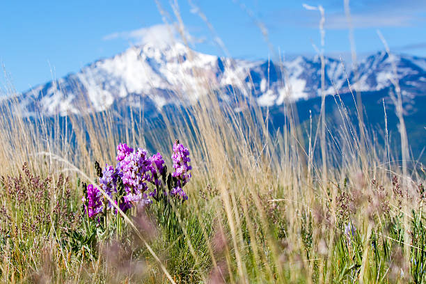 Wildflowers in the Pike National Forest and Pikes Peak stock photo