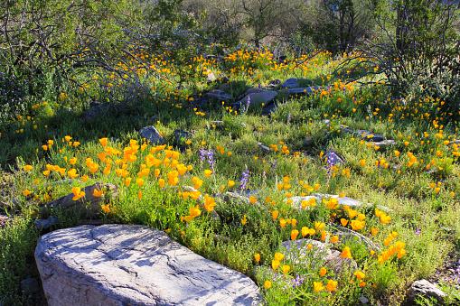 Wildflowers in the Sonoran Desert of Arizona