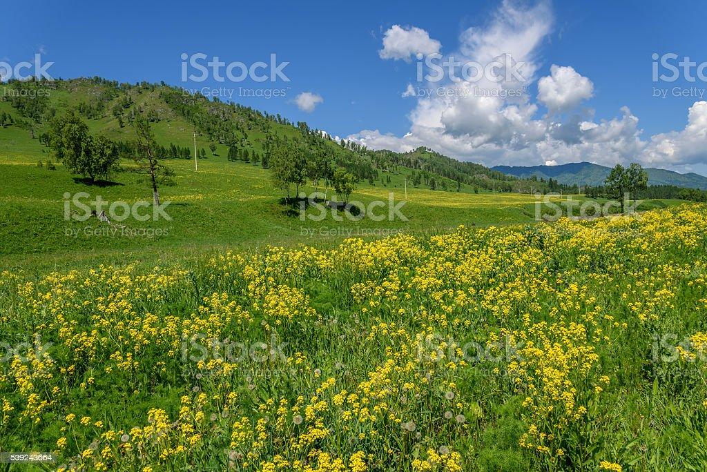 wildflowers meadow mountains yellow foto de stock libre de derechos