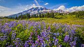 Wildflowers, Mount Rainier, Washington st