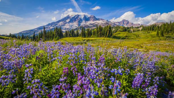 Wildflowers, Mount Rainier, Washington st Wildflowers, Mount Rainier, Washington st washington state stock pictures, royalty-free photos & images