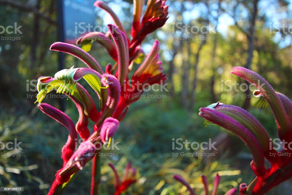 Wildflowers of Australia stock photo