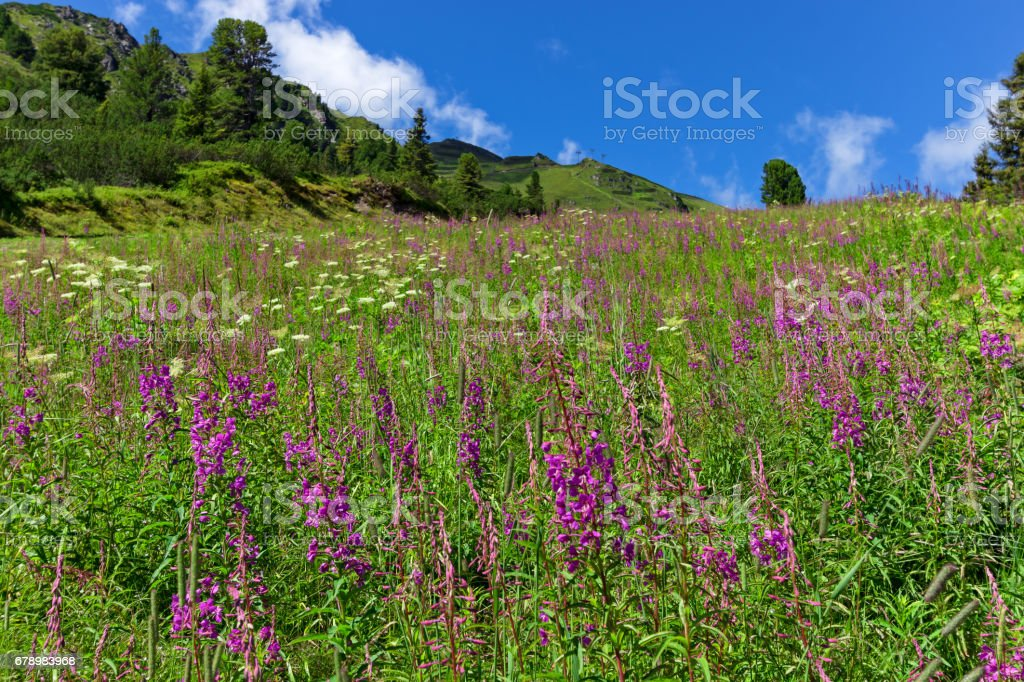 Wildflowers on a alpine meadow in austrian Alps, Zillertal High Alpine Road, Austria, Tirol, Tyrol photo libre de droits