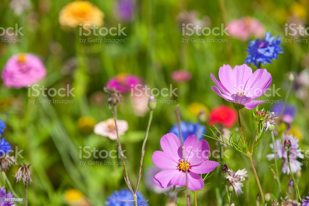 Wildflowers on a meadow in a sunny day royalty-free stock photo