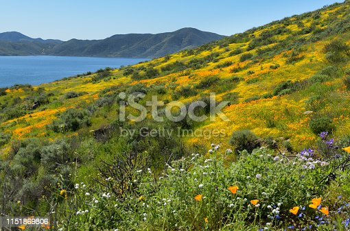 Wildflower florish along the slopes of Diamond Valley Lake near Hemet, California.