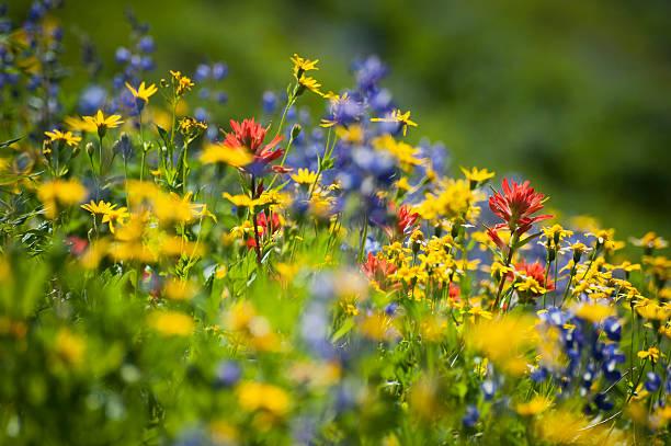 Wildflowers on mt baker picture id513551734?b=1&k=6&m=513551734&s=612x612&w=0&h=j3opz o4jihhfhl69ohe k6lrjc5b0mvgz3pkvcmt2i=