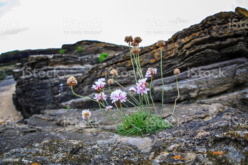 Wildflowers on rocks at the Ireland coast