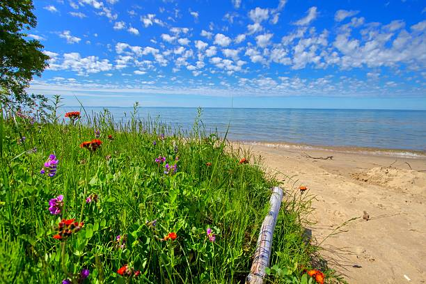 wildflowers on the beach - lake michigan stock pictures, royalty-free photos & images