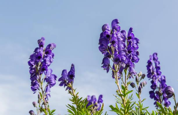 Fleurs sauvages (Aconitum napellus) - Photo