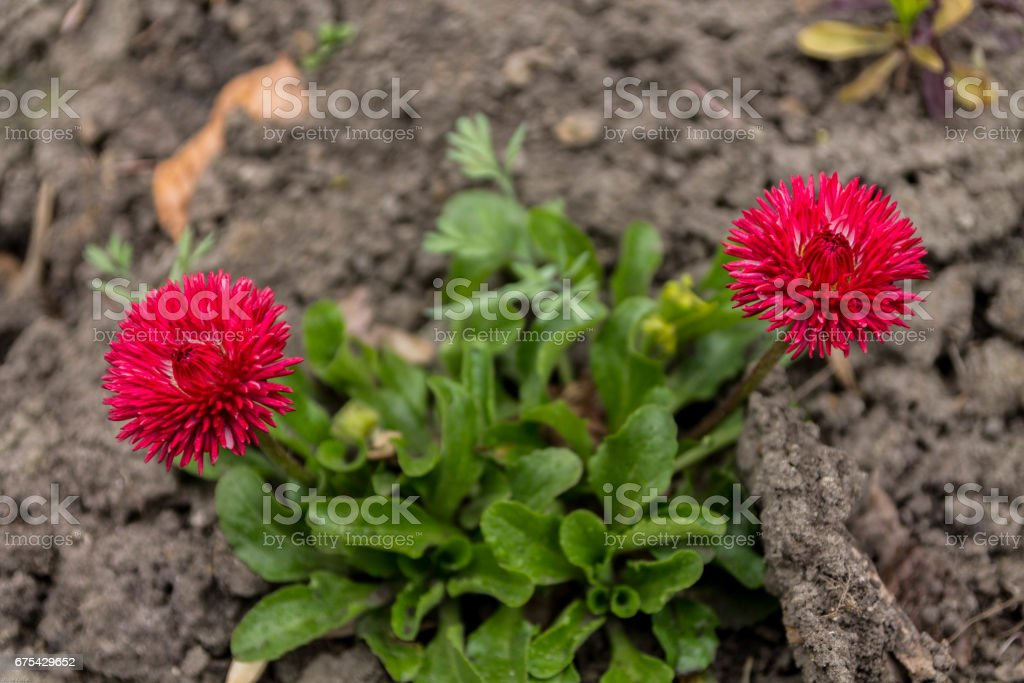 Wildflowers red. Flowers beds. stock photo