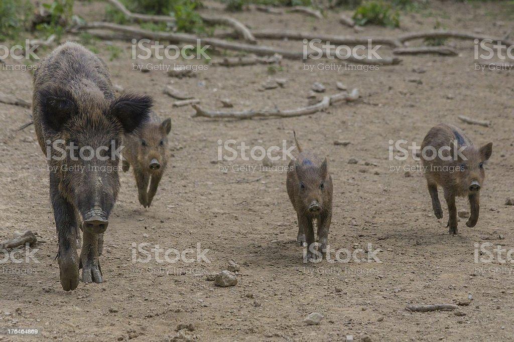 Wildhog Family stock photo