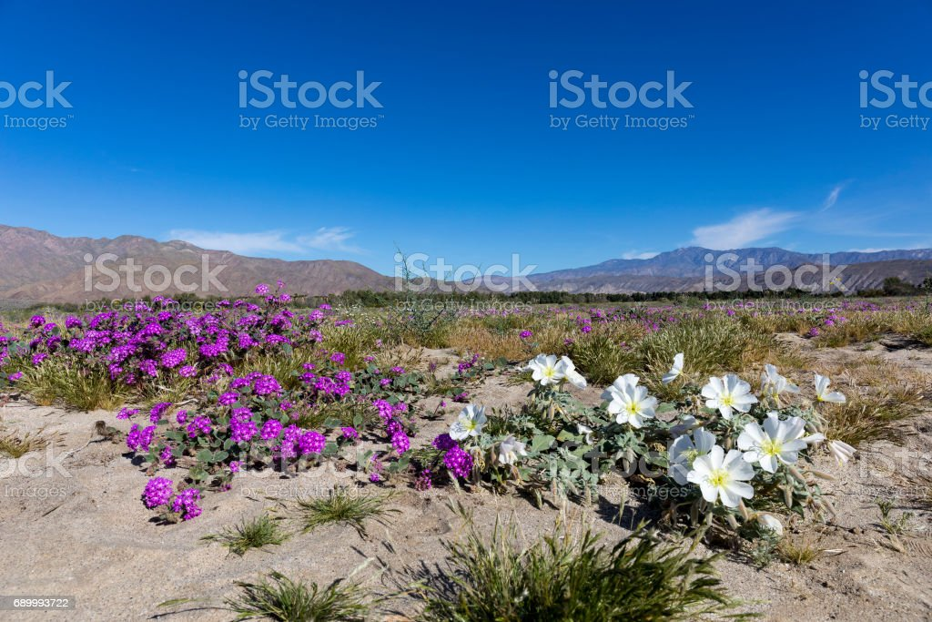 Wildlfowers Blooming in Anza-Borrego State Park, California stock photo