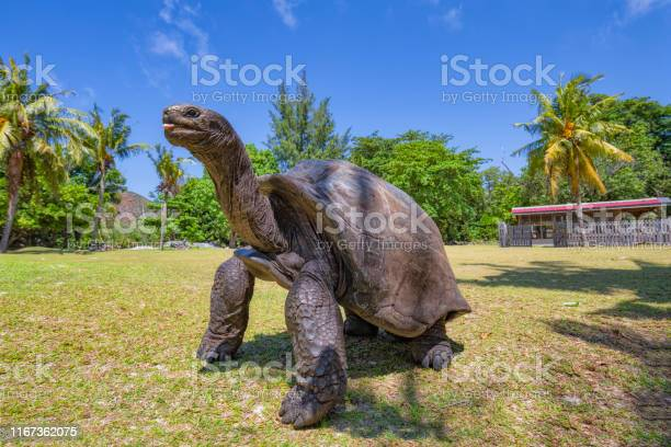 Wildlife aldabra giant tortoise on the turtle island curious island picture id1167362075?b=1&k=6&m=1167362075&s=612x612&h= boohxomg801rfp6i0yqdpgvjvavei iqfdl1s xgtk=