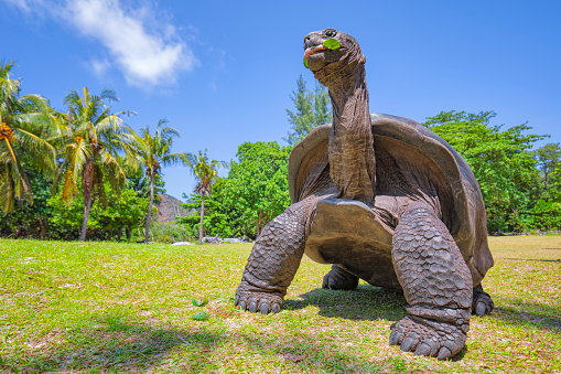 Aldabrachelys is the recognised genus for the Seychelles and Madagascan radiations of giant tortoises, including the Aldabra giant tortoise (Aldabrachelys gigantea). The Aldabra giant tortoise (Aldabrachelys gigantea), from the islands of the Aldabra Atoll in the Seychelles, is one of the largest tortoises in the world. In 1979, Curieuse and surrounding waters were declared the Curieuse Marine National Park in order to protect the native wildlife. Between 1978 and 1982, a conservation project relocated Aldabra giant tortoise from Aldabra to Curieuse. Today, it is the home of more than 300 Aldabra giant tortoise, some staying around the Ranger's Station and the rest roaming around elsewhere on the island.
