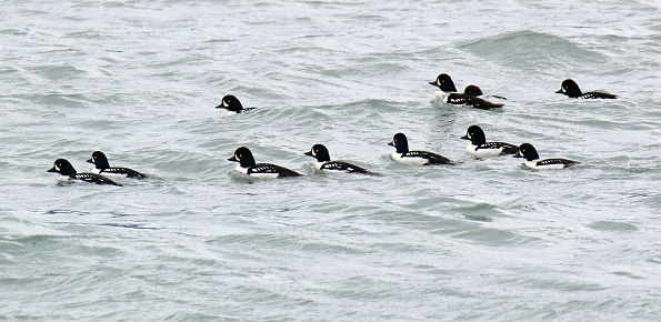Flock of Barrow's Goldeneyes (Bucephala islandica) in Alaska, United States. Raft of males swimming in the pacific ocean.