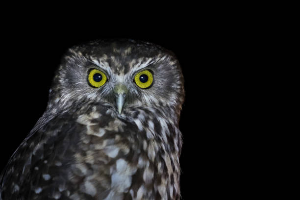 Wildlife animal image of owl at night picture id1068940416?b=1&k=6&m=1068940416&s=612x612&w=0&h=7rkwis6t17qjiu23uo7mxi01lutryf4f1309rqk9lrs=
