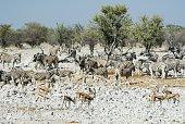 Wildlife animals in the Etosha National Park, Namibia
