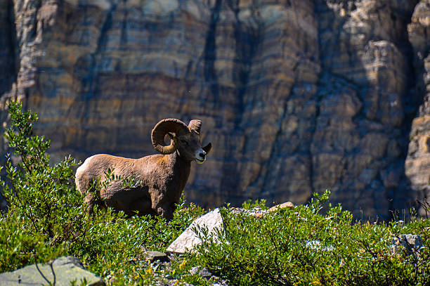 wildlife as seen in glacier national park, montana, usa - going to the sun road stock pictures, royalty-free photos & images