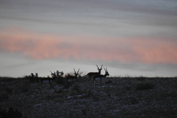 Wildlife at sunset on top of a mountain Black Buck Antelopes in the wild at sunset wildebeest running stock pictures, royalty-free photos & images