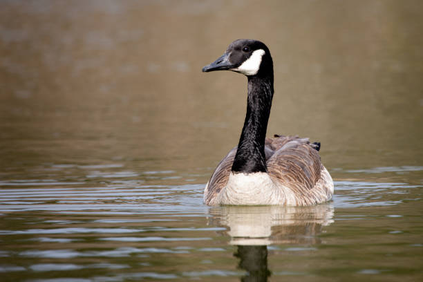 Wildlife Birds Canadian Canada Goose Swimming Green Algae Pond Afternoon stock photo