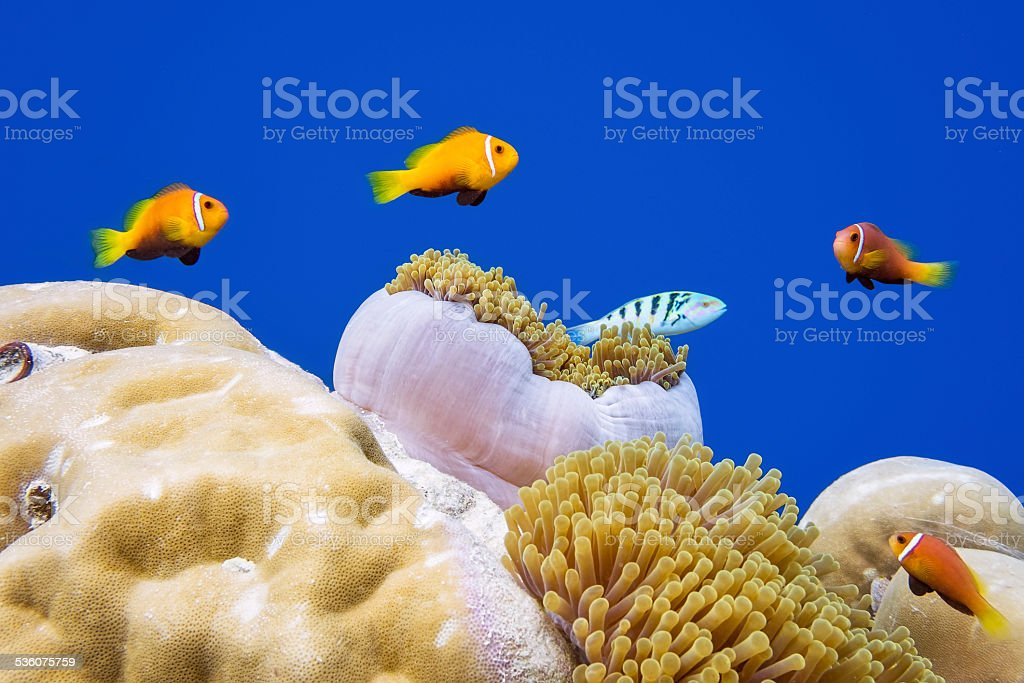 Wildlife clown fish in a anemone on Maldives stock photo