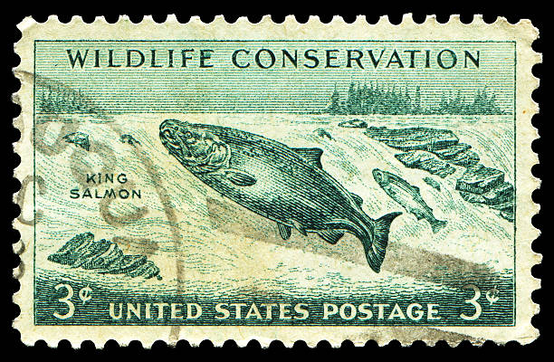 wildlife conservation - chinook salmon stock photos and pictures