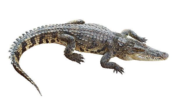 Wildlife crocodile isolated on white stock photo