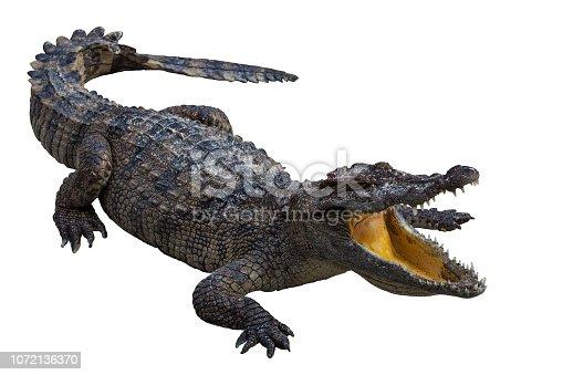 istock Wildlife crocodile open mouth isolated. 1072136370