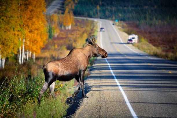 Wildlife crossing the highway stock photo