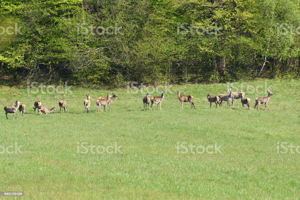 wildlife deer on the meadow royalty-free 스톡 사진
