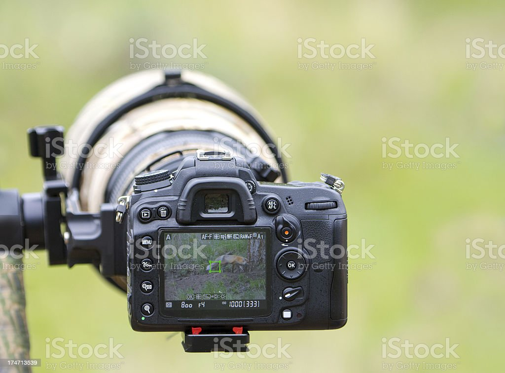 Wildlife Image in LCD - Super Telephoto Lens. Yellowstone NP royalty-free stock photo